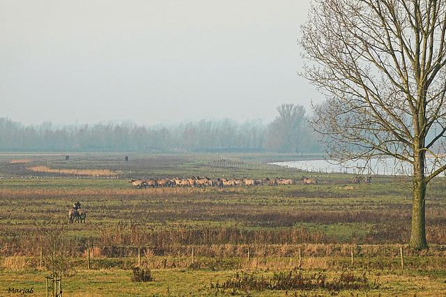 Een behoorlijke kudde Koniks vanmorgen