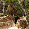 Female Spruce Grouse with one of her young
