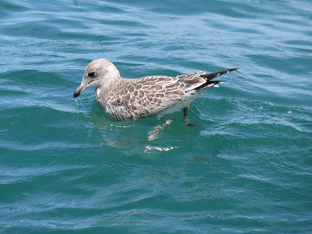 Juvenile gull in Lake Huron