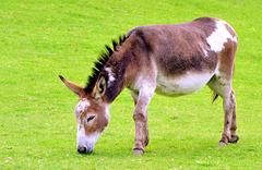 Donkey (Equus africanus asinus).