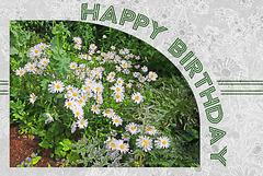 Royal Pavilion daisies - Happy Birthday
