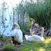 IMG 3612 SwansCygnets dpp