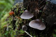 Mycena ammoniaca, Canada L1010353
