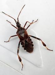 Leptoglossus occidentalis, Canada L1010340