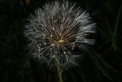 BESANCON: Une fleur de Pissenlit (ou Dent-de-lion) (Pappus). 09