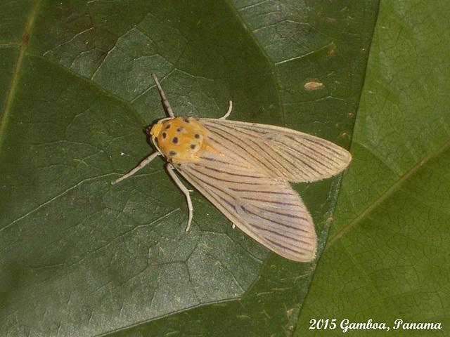 P081G Phaemolis lineatus