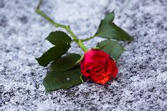 Rose 8/50 : Ice age beauty