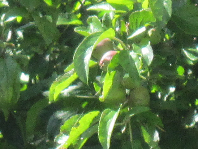 Apples appearing on the tree already