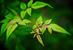 Jasmine Leaves