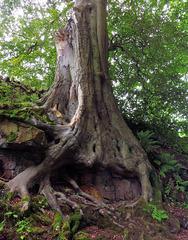 Ancient tree.