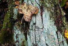 Icmadophila ericetorum, Candy lichen, Canada L1010400