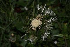 BESANCON: Une fleur de Pissenlit (ou Dent-de-lion) (Pappus).10