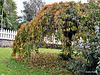 Our Autumn Tree.