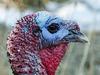 Wild Turkey at the Cochrane Ecological Institute