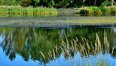 Reeds and Reflections at Bigwater
