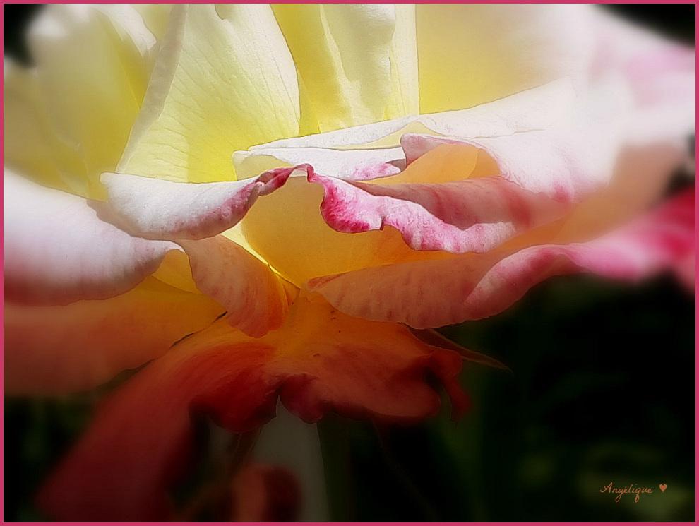 Rose pour vous.........!Passez un bon we de Pentecôte **