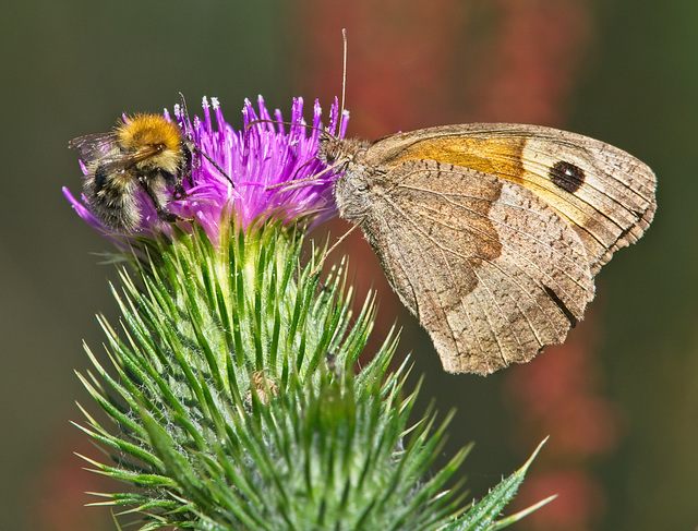 Meadow Brown & Bee on Thistle