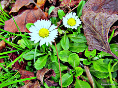 Just Daisies and Dead Leaves.