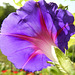 Ipomoea from behind