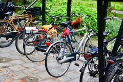 Bicycle chickens