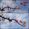 Le printemps du gainier (Arbre de Judée ) , Cercis siliquastrum