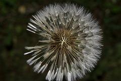 BESANCON: Une fleur de Pissenlit (ou Dent-de-lion) (Pappus). 11