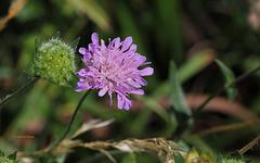 Knautia arvernensis - Knautie d'Auvergne