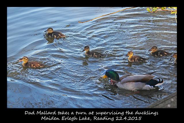 Mr Mallard with ducklings - Maiden Erlegh Lake - Reading - 22.4.2015