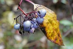Cornus amomum, Canada
