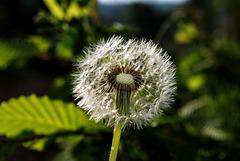 BESANCON: Une fleur de Pissenlit (ou Dent-de-lion) (Pappus). 12