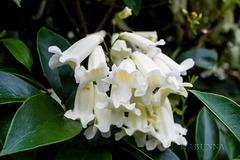 Wonga vine flowers in white