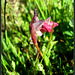 Snake's tongue orchid