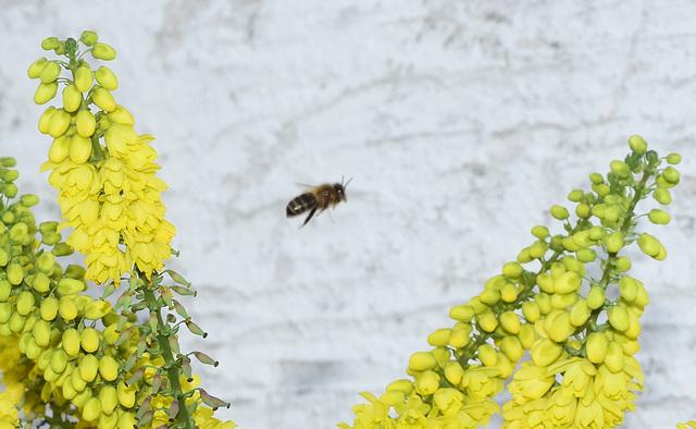 Biene zwischen Mahoniablüten