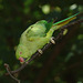Parakeet EF7A4445