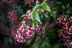 Wonga vine flowers in purple