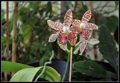 Phalaenopsis sumatrana South Thailand (2)