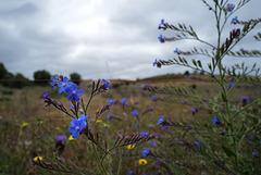 Anchusa azurea, Boraginaceae