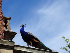Proud as a Peacock at Powis