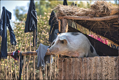 Une vie de cochon !