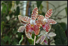 Phalaenopsis sumatrana South Thailand (3)