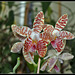 Phalaenopsis sumatrana South Thailand (3)