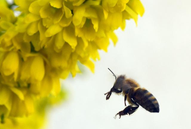 Biene im Anflug auf eine Mahonia-Blüte