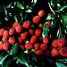 Merveilleux fruit des Antilles : le Litchi