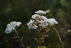 Achillea millefolium, Canada L1010474