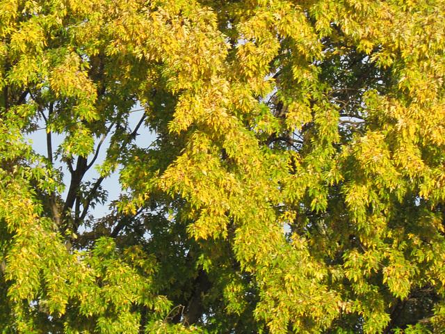 Des feuilles de soleil !