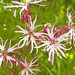 Silène fleur de coucou = Silene flos-cuculi, Caryophyllacées (Haute-Savoie, France)