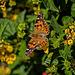 B051760dL Butterfly