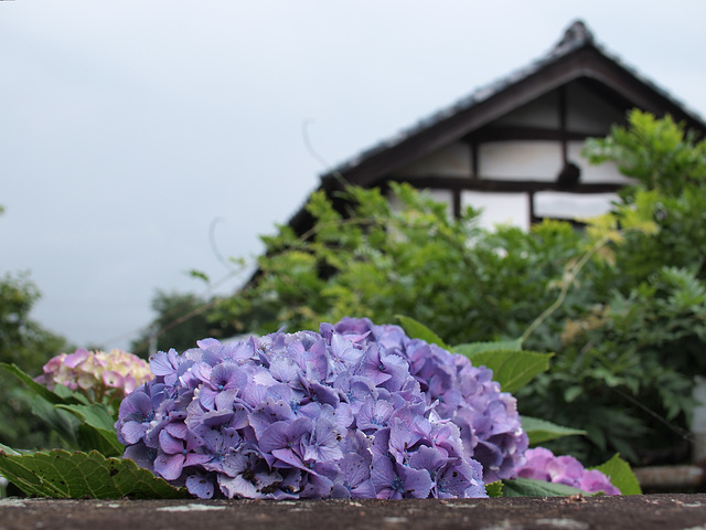 Hydrangea and a house