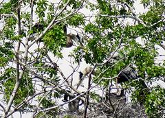 Nesting Great Blue Herons