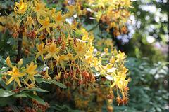 Wörlitzer Park Rhododendren Blüte 28.05.2017 16